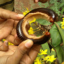 Black Millipede with Yellow Legs