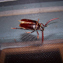 Tile-horned Prionus Beetle