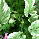 black swallowtail caterpillar?