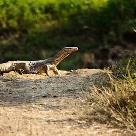 Indian Monster Lizard by Haresh Patel - Animals Reptiles
