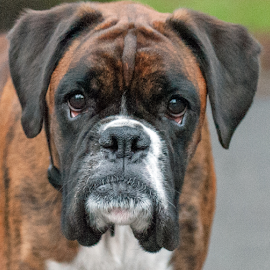 boxer by Michael Sweeney - Animals - Dogs Portraits
