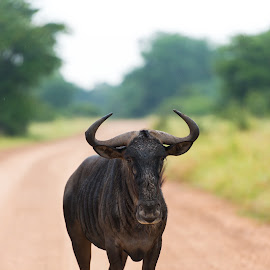 Blue wildebeest by Johan Du Preez - Animals Other ( blue wildebeest )