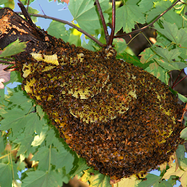 Wild Bee Hive by Jane Spencer - Nature Up Close Hives & Nests ( wild, maple tree, worker bees, bumble bees, bee hive )