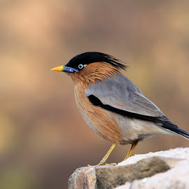 Bird... by Ramakant Sharda - Animals Birds ( bird, brown, birds )