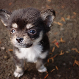 by Kelli Harlow - Animals - Dogs Puppies ( puppy, chihuahua, baby, young, animal )