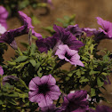 Ray™ Purple Vein Petunia hybrid (Proven Winners)