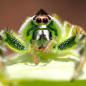Northern Green Jumping Spider ( Male )