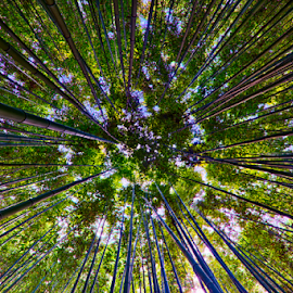 Bamboo straight up by Keith Homan - Nature Up Close Trees & Bushes