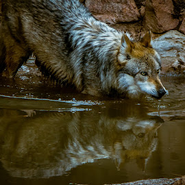 Being Watched by Paulo Peres - Animals Other Mammals ( reflection, mexican wolf, zoo, wolf, el paso, mammal )