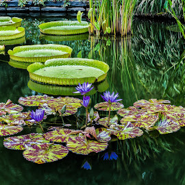 Lily Pads by Allen Phelps - Nature Up Close Other plants ( pink flower, green, lily pad, pond, flower,  )