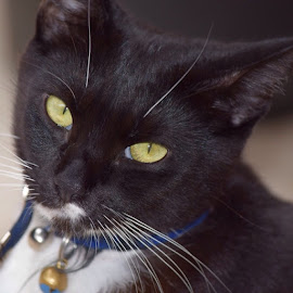 beautiful boy by Vanessa Heydon - Animals - Cats Portraits