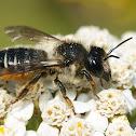 Megachile lapponica