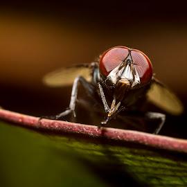 Lalat dari bawah 2 by Elsprananda Klan - Animals Insects & Spiders