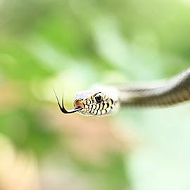 got my eye on you by Keyur Mehta - Animals Reptiles ( predator, snake, born to kill, set, wildlife, reptile, about to, eye )