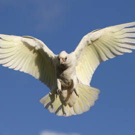 Little Corella by Howard Ferrier - Animals Birds ( bird, little corella, flying, queensland, wings, airborne, caloundra )