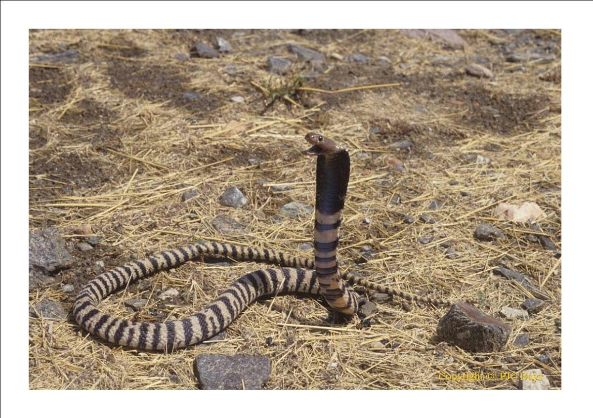Zebra & Snake* Zebra and Snake - Nighttime