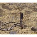 Zebra snake