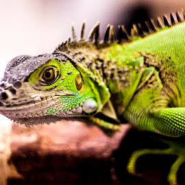 Iguanf by Ahmad Fraidee Pamungkas - Animals Reptiles (  )