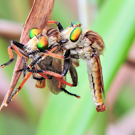 Robberflies by Yusop Sulaiman - Animals Insects & Spiders