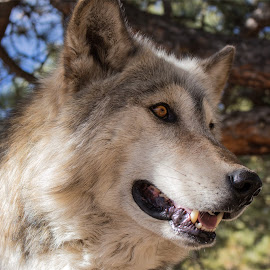 Wolf by Kyle Gorman - Animals Other Mammals ( animals, canon t5i, nature, wolf, colorado )