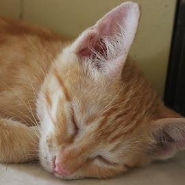 Tomba sleeping by Dura Zaman - Animals - Cats Kittens ( kitten, tomba, pet, male kitten, animal,  )
