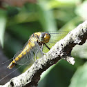 Black-tailed Skimmer dragonfly (female)