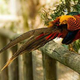 Red Golden Pheasant by Zdenka Rosecka - Animals Birds