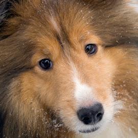 Wylie by Trent Eades - Animals - Dogs Portraits ( winter, snow, sheltie, portrait )