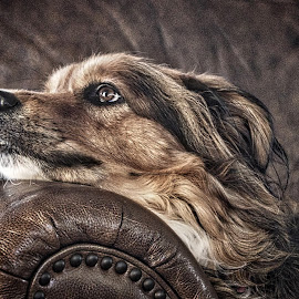 Where is she? by Jim Antonicello - Animals - Dogs Portraits ( layla, sleeping, dog )