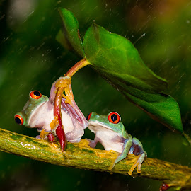 Best Couple  by Kutub Macro-man - Animals Amphibians ( nature, wild  life, red eye tree frog, animal, , baby, young )