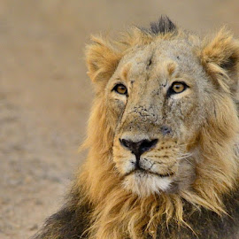 Absolute arrogance....Maharaja of Sasan Gir. by Hitesh Khokhani - Animals Lions, Tigers & Big Cats