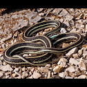 Orange Striped Ribbon Snake