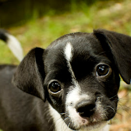 puppie eyes by Stephanie Lewis - Animals - Dogs Puppies
