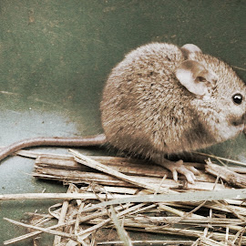 Little One by Jessie DeVuyst - Animals Other Mammals ( mice, mouse, nature, wildlife, rodent )