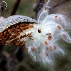 Milkweed Bursting by Steven Valkenberg - Nature Up Close Other plants ( macro, fall, white, milkweed )