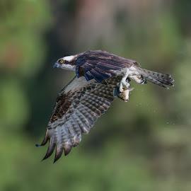 Lunch by Dave Eppley - Animals Birds ( bird, florida, raptor, osprey,  )