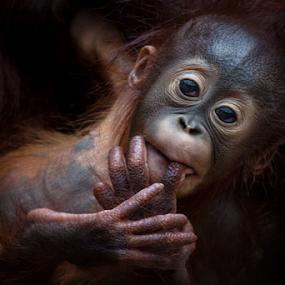 Safety by Michael Milfeit - Animals Other Mammals ( safety, geborgenheit, orang-utan, baby, young, menschenaffe, pongo, animal, primat )