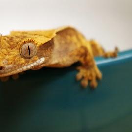 Gecko in Bowl by Gareth Dickin - Animals Reptiles ( lizard, gecko, blue, white, feet, cresty, crest, eye,  )
