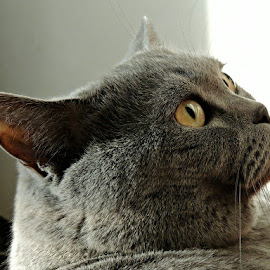 British Shorthair 51 by Tamsin Carlisle - Animals - Cats Portraits ( face, cat, ears, grey, gray, british shorthair, portrait, eyes )