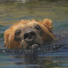 Big Brown Bear goes for a swim at the Columbus Zoo by Bill Stalter - Novices Only Wildlife