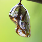 Common crow chrysalis