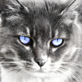 The Look by Paul Griffin - Animals - Cats Portraits ( look, cat, stare, white, kitty, kind, black, eyes )
