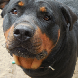 Xena by Alisa Bandelman - Animals - Dogs Portraits ( selfie, yard, rottie, pup, dog, rottweiler )