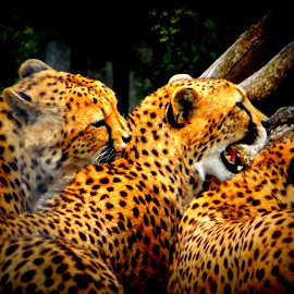cheetah triplets by Lisa Reed - Animals Lions, Tigers & Big Cats ( new 2014 to do,  )