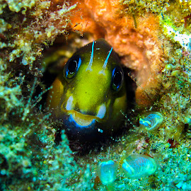 Stare Down by Stuart Skene - Animals Sea Creatures ( marine, macro, blenny, underwater, scuba, dive )