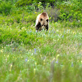 Grizzley, Glacier National Park by Greg Koehlmoos - Landscapes Prairies, Meadows & Fields ( grizzley, grizzlies, watch out for grizzlies, montana meadows, montana grizzlies, montana wildflowers, glacier national park,  )