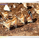 Mudpuddling of Spot Swordtail Butterfly