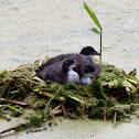 Eurasian coot juveniles in nest
