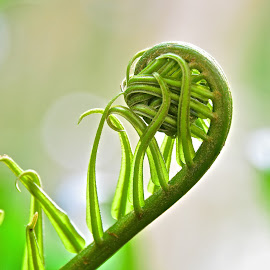 Unroll the Fern by Steven Aicinena - Nature Up Close Leaves & Grasses ( roll, fern branch )