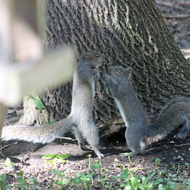 My little squirrels are crazy..... takes one to know one lol by Caryl Clemens - Animals Other
